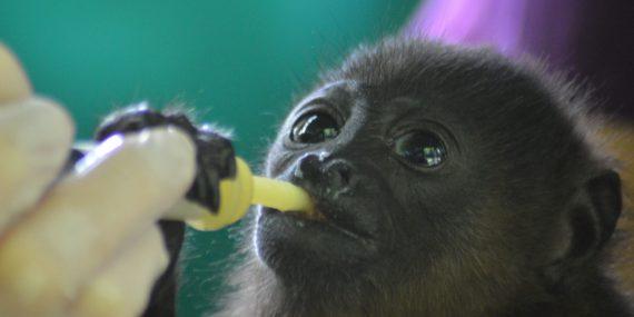 Volunteer feeding a baby howler monkey in Costa Rica