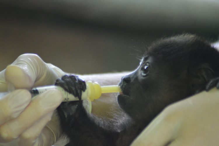 Volunteer feeding baby howler monkey
