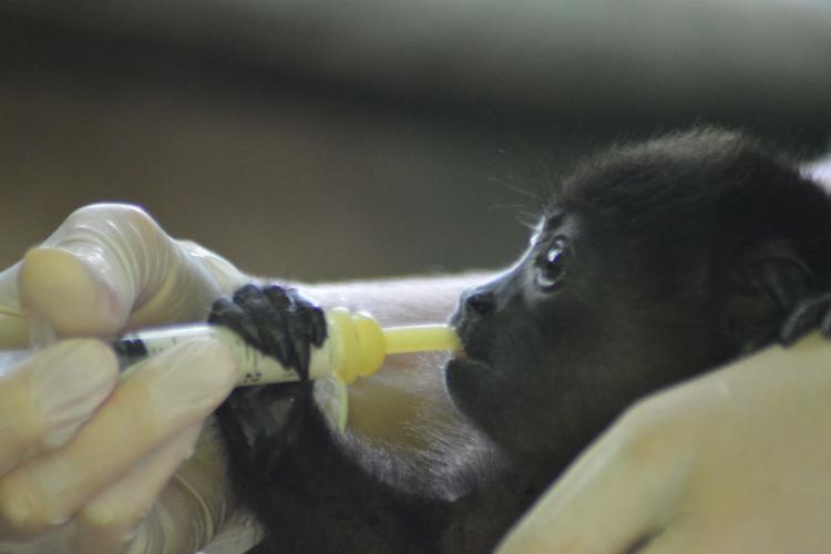 Volunteer feeding baby howler monkey