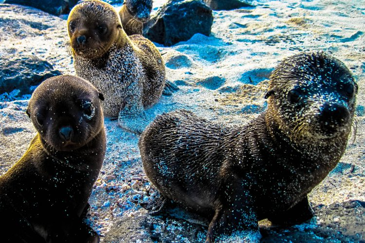 Baby sea lions in Galapagos