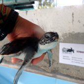 Marine and Sea Turtle Conservation Volunteering, Maldives