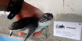 Volunteer holding baby sea turtle in Maldives