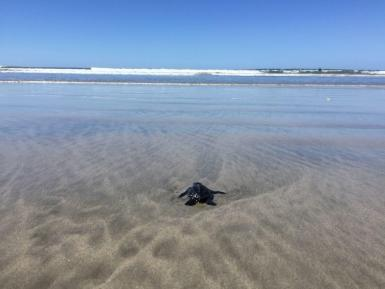 Baby turtle returning to the sea