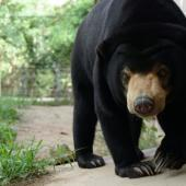 Bear Sanctuary Volunteer Project, Cambodia