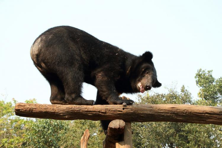 Bear on top of wooden beam
