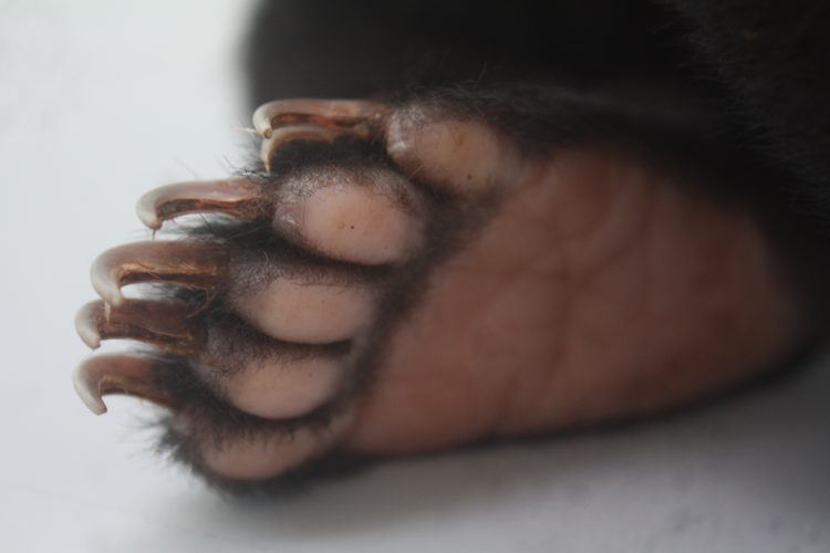Bear paw up close