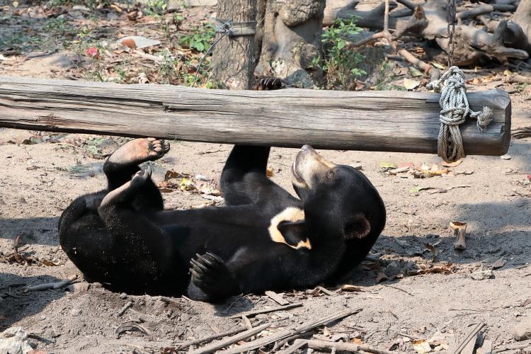 Bear playing in enclosure