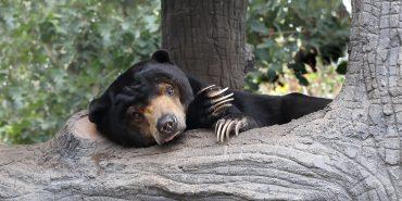 Bear resting in enclosure