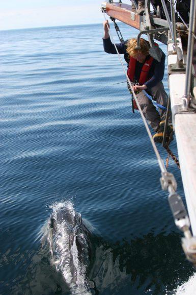 Common Dolphin in Scotland