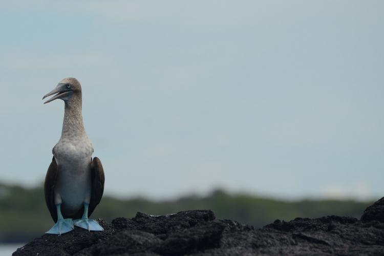 Endemic Bird in Galapagos