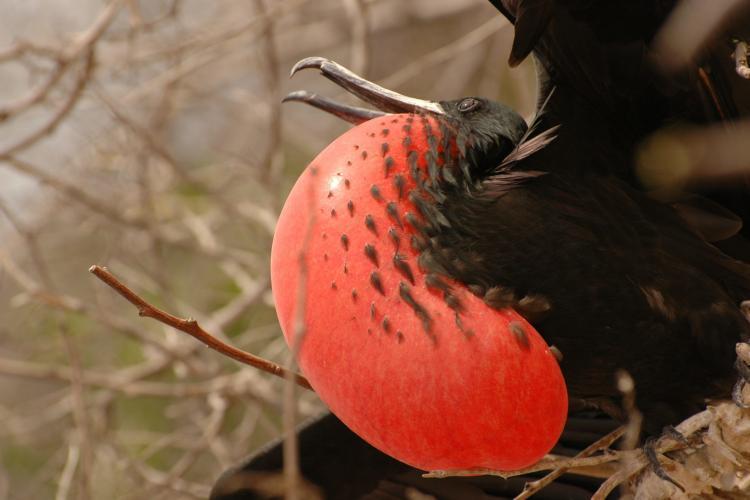 Red bird in Galapagos