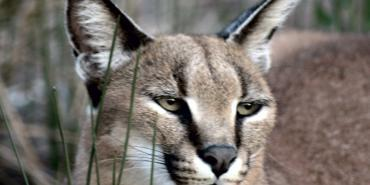 Caracal in South Africa