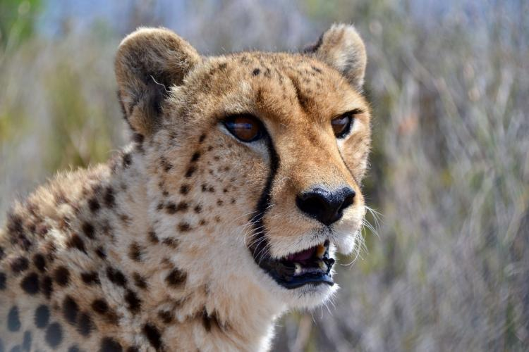 Cheetah closeup in South Africa