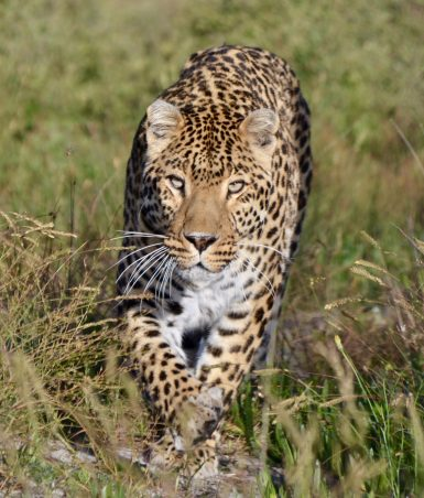 Cheetah running in South Africa