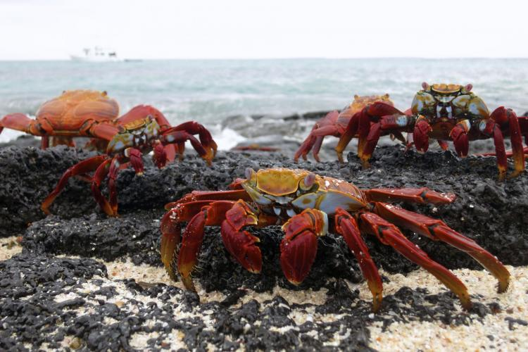 Crabs on the beach in Galapagos