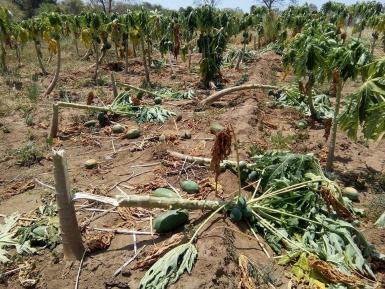 crop damage by elephants
