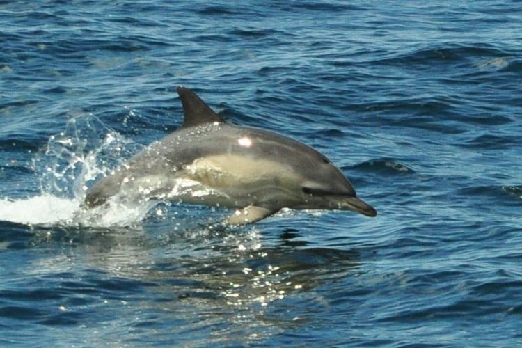 Common dolphin jumping through water