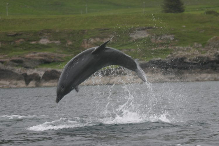 Bottlenose dolphins in Loch na Keal, Isle of Mull