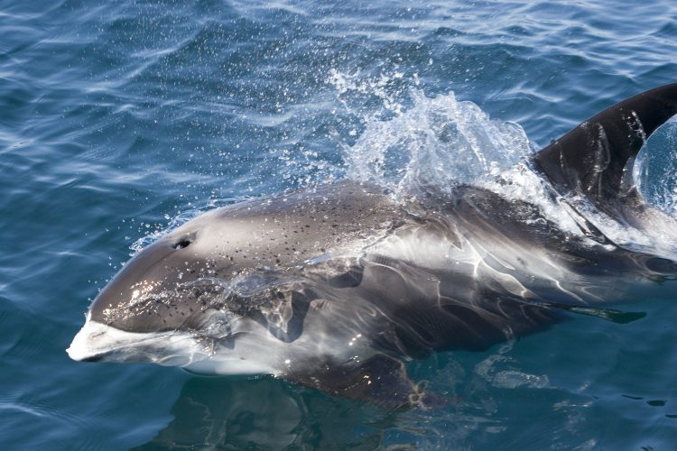 Minke Whale swimming in the Hebrides