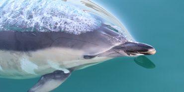 Common Dolphin Swimming in Scotland