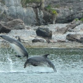 Breeching Dolphins in the Hebrides
