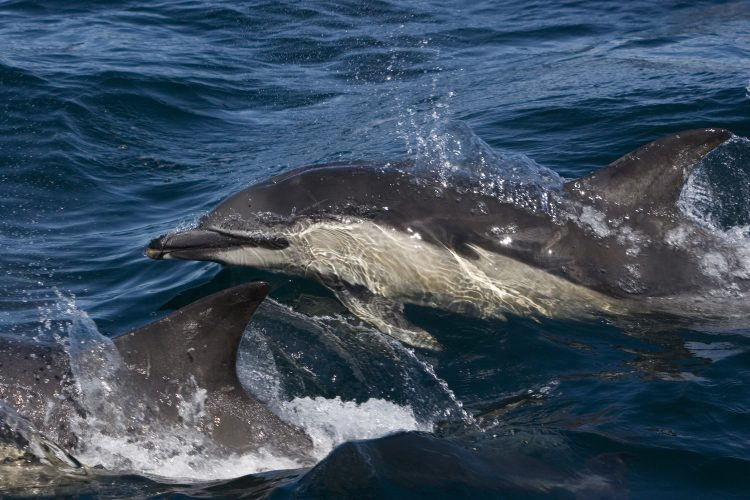 Dolphins swimming in Hebrides