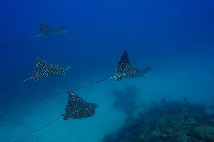 Diving with eagle rays Sandy Island