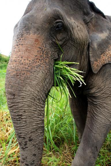 Elephant Eating Grass Thailand