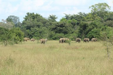 Elephant herd Sri Lanka