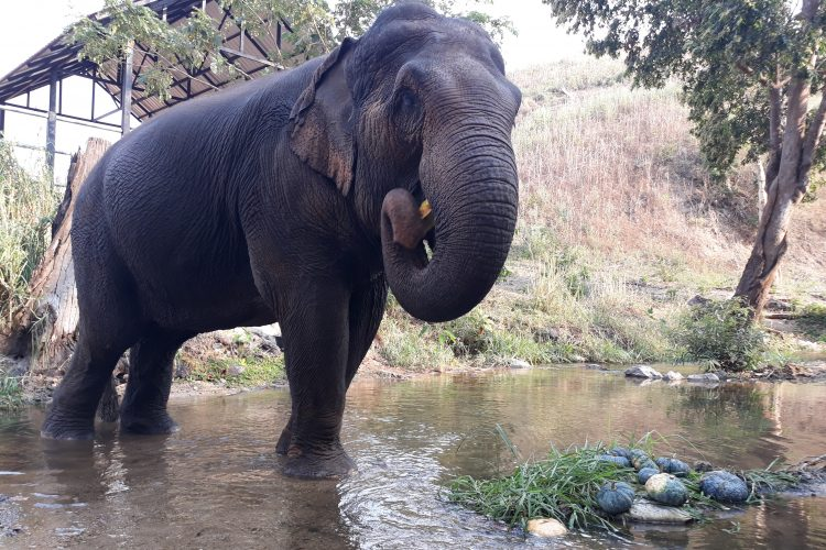 Elephant walking in the river Chiang Mai