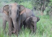 Elephant Conservation Volunteer Project, Sri Lanka