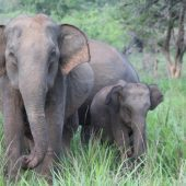 Elephant Conservation Volunteer Project, Sri Lanka