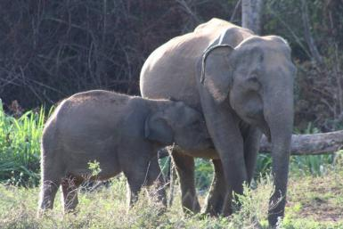 Elephant with baby feeding
