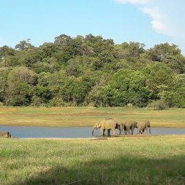 Elephants by lake