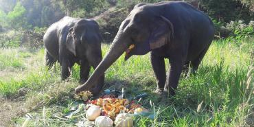 Elephants eating pumpkins