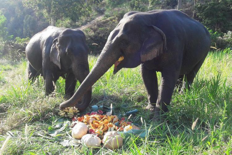 Elephants eating pumpkins