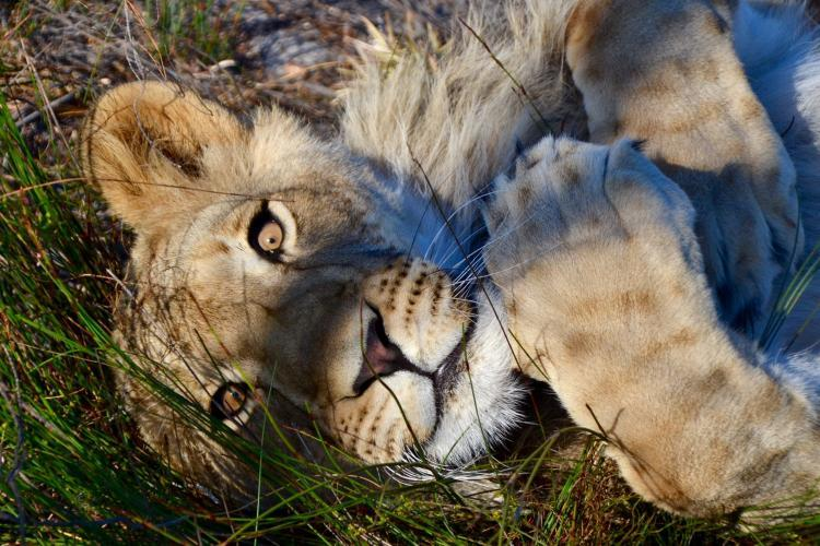 Lioness relaxing in South Africa