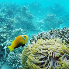 Clown fish in coral in Maldives