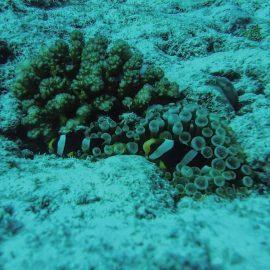 Fish swimming in Coral Maldives
