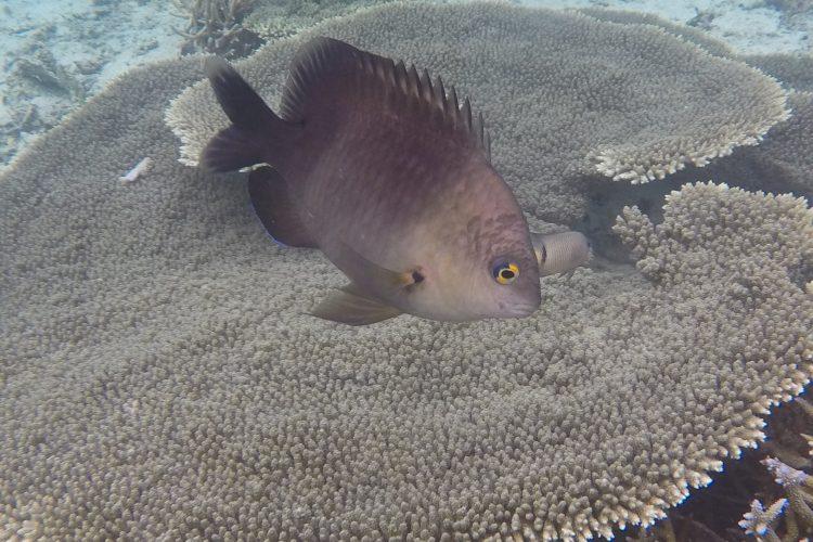 Big fish in the corals in Mauritius