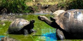 Giant tortoises in Galapagos