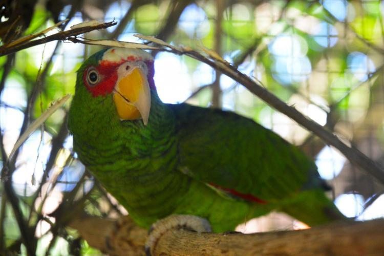 Green parrot rescued in Costa Rica