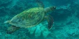 Hawksbill turtle in Mauritius
