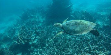 Underwater shot of hawksbill turtle