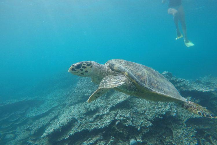 Hawksbill turtle swimming in the lagoon