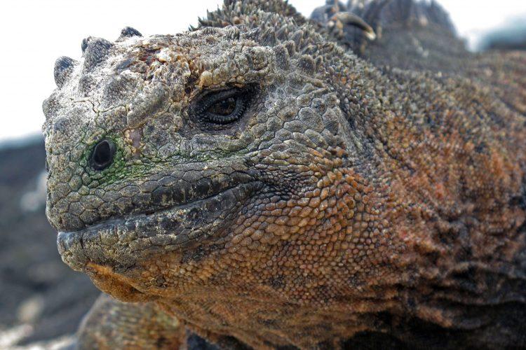 Galapagos Iguana closeup