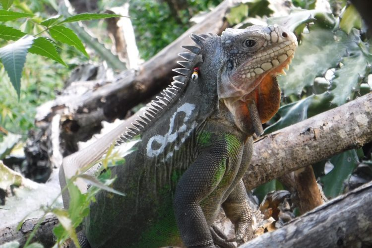 Iguana on Statia