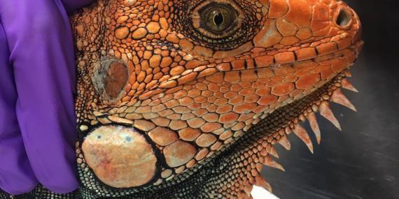 Rescued iguana Costa Rica