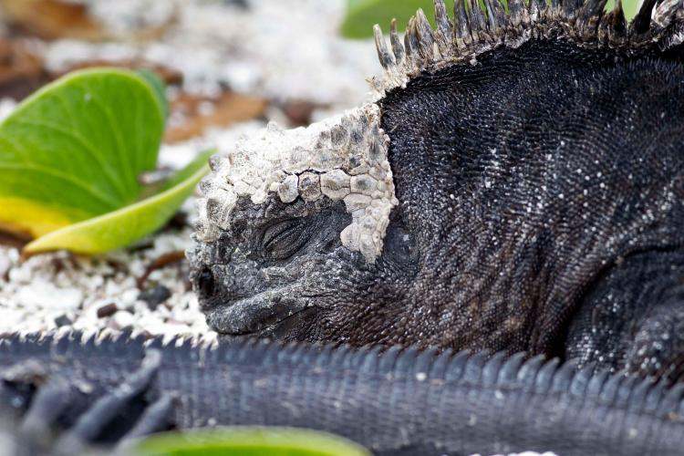 Galapagos Iguana sleeping