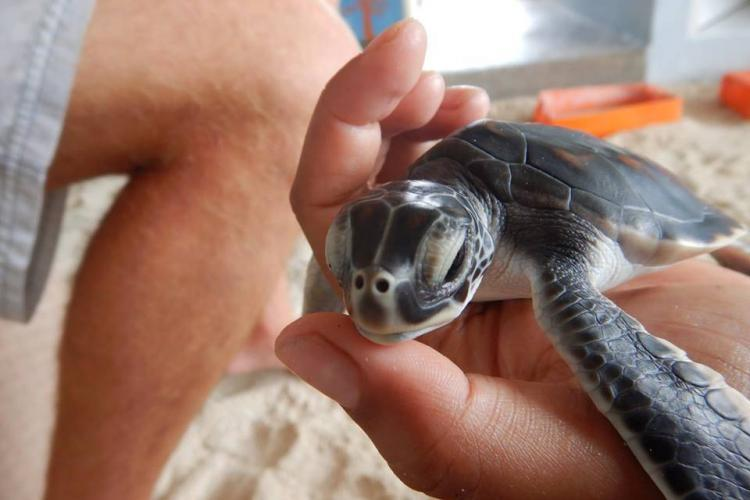 Volunteer holding baby sea turtle